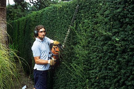 Yew hedging, like other evergreens, is best planted in September to October or March to April Buy plants that are 45-60cm (18-2ft) high, as these tend to establish more successfully and grow away better than larger plants. Bare-rooted or root-balled yews are preferable as they are usually cheaper than container-grown stock and seem to establish more readily Once established, a well cared for yew hedge may make up to 30cm (1ft) of growth a year. privacy screening, living