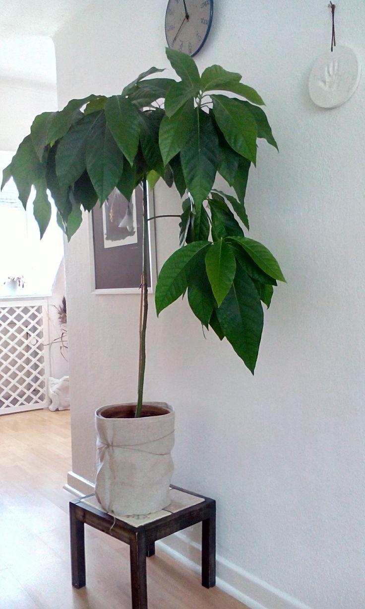 Mein Selbst Gezogener Avocadobaum Avocado Baum