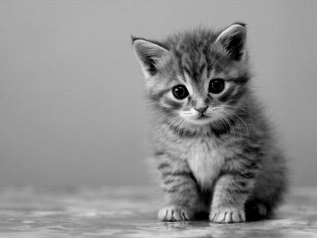 Cute Cat Photography Black And White Kitten Baby Animals Pictures Kittens Cutest Baby Kittens Cutest