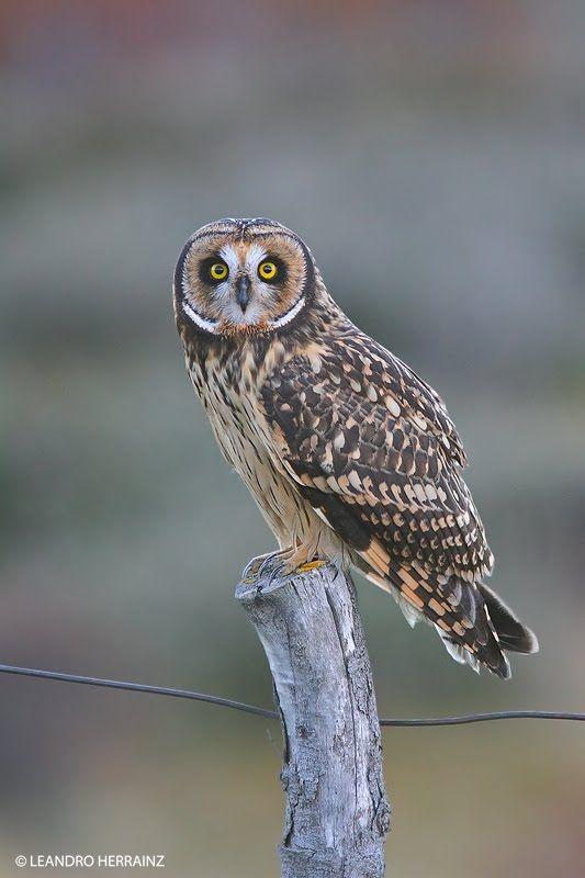 Short-eared Owl (Asio flammeus) - Picture 17 in Asio: flammeus - Location: Ushuaia, Argentina. Photo by Leandro Herrainz.