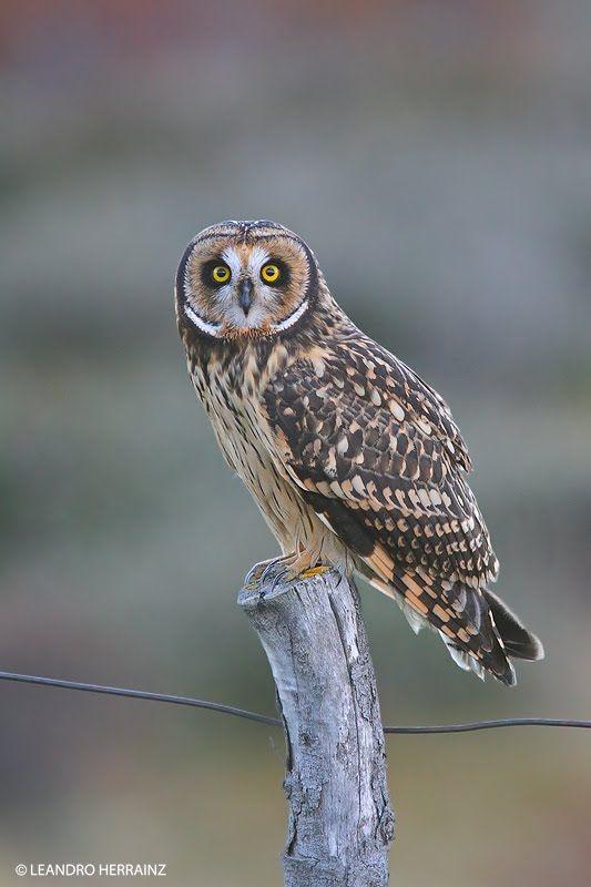 Short-eared Owl (Asio flammeus). Photo by Leandro Herrainz.