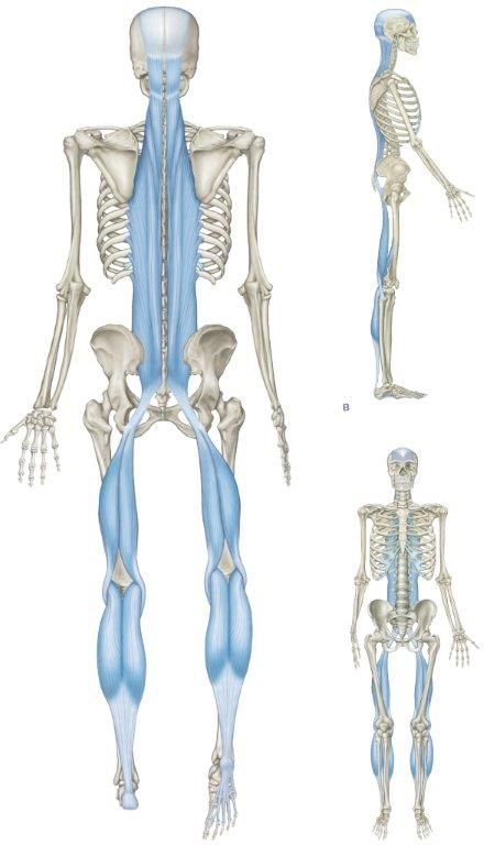 Some insight into muscle to bone attachment
