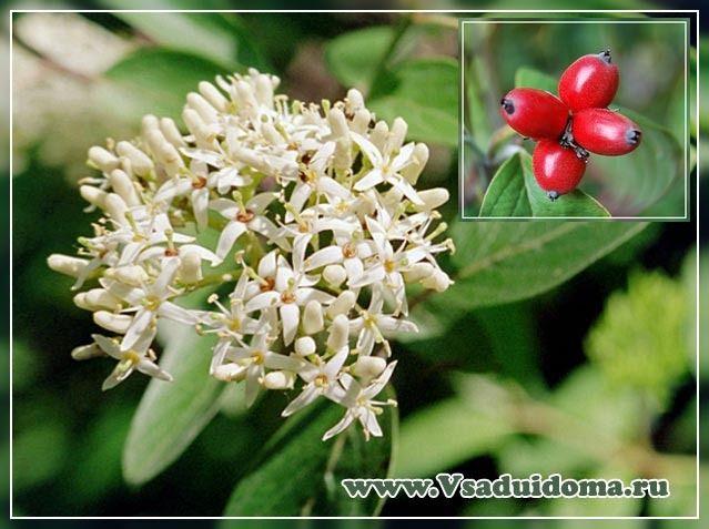 Цветы  кизила  и  плод  (костянка).