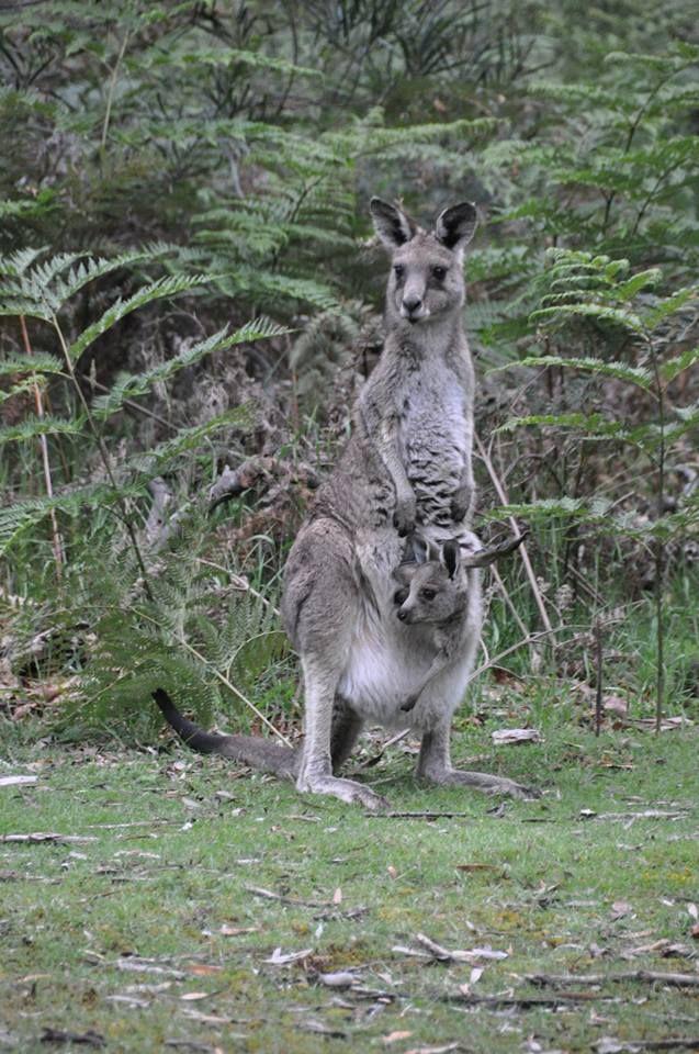 Australien. Australia. Nature. Travling. Travel. Memories. Adventuredk. Kangaroo