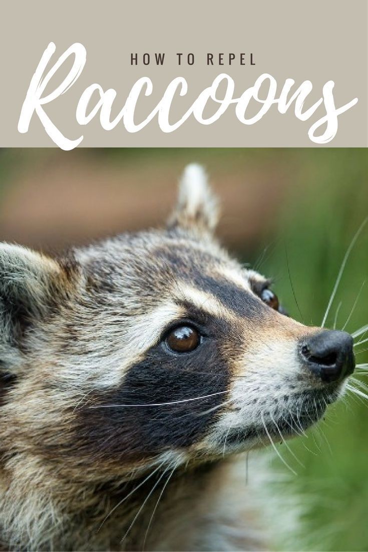 Heres everything you need to know about those raccoons in