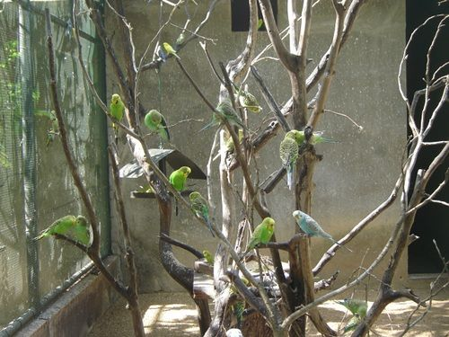Parakeets at Casela Nature & Leisure park