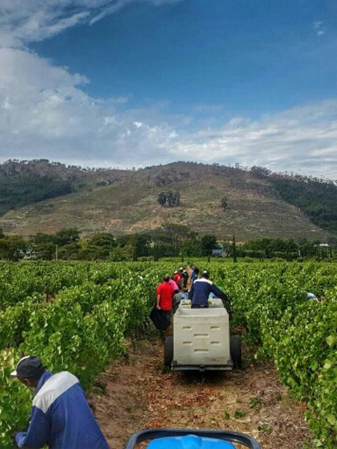 First day of harvest 2017! It is nice and cool, everyone is excited that the quality is looking great! http://www.grandeprovence.co.za/the-estate/our-wines/