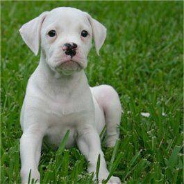 Tallulah, the American Bulldog puppy at 9 weeks old.