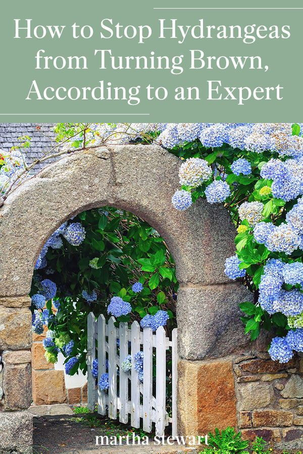 How To Stop Hydrangeas From Turning Brown According To An Expert In 2020 Hydrangea Care Hydrangea Not Blooming Hydrangea