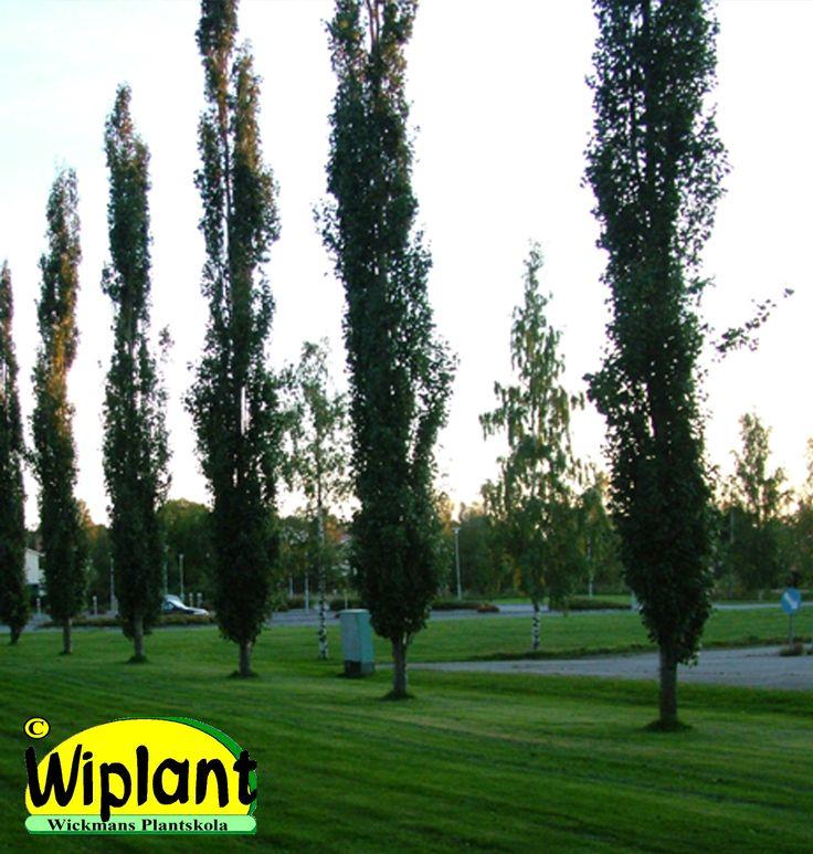 Populus tremula 'Erecta', Pelarasp. Smal form, bladen vackert rödfärgade på våren. Höjd: 5-15 m.