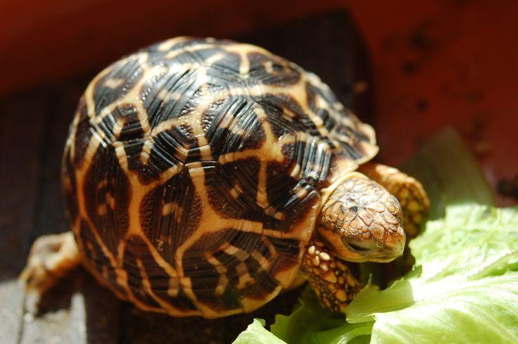 star tortoise.