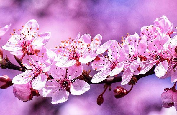 Pink Cherry Blossoms By Dana Hardy Metal Prints Blossom Cherry Blossom