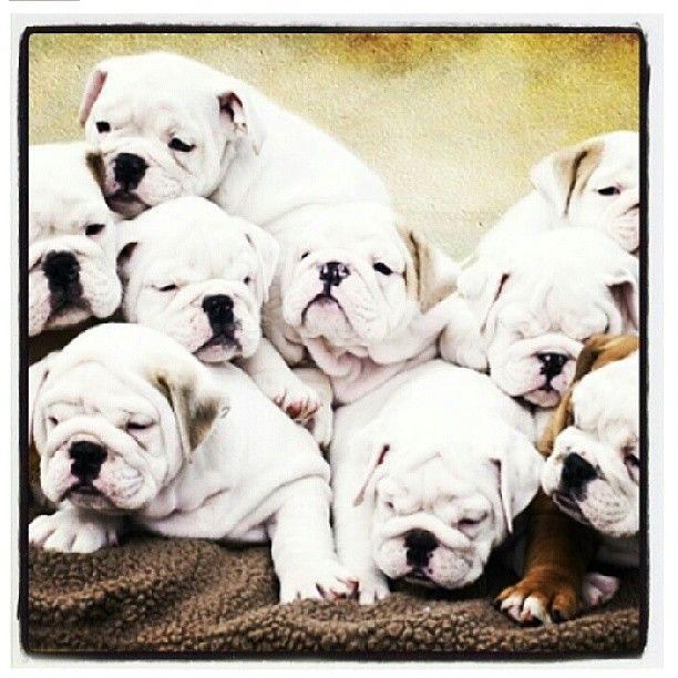 White English Bulldog puppies