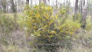flat-stemmed wattle  Acacia complanata  small tree; hardy; diseases rare; yellow pom-pom flowers three or four times a year