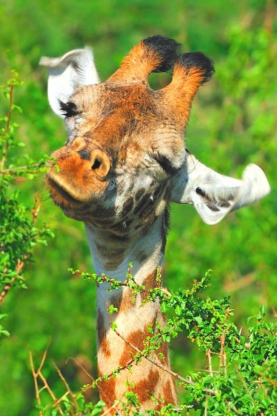 From Past To Present — earthdaily: Masai Giraffe BY~Tony Beck