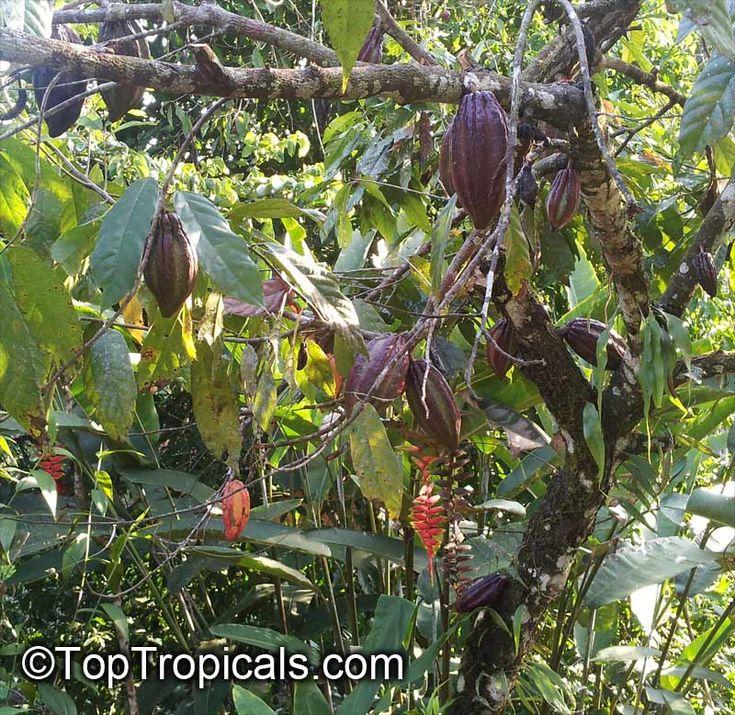 Theobroma cacao, Chocolate Tree, Cacao, Cocoa Tree
