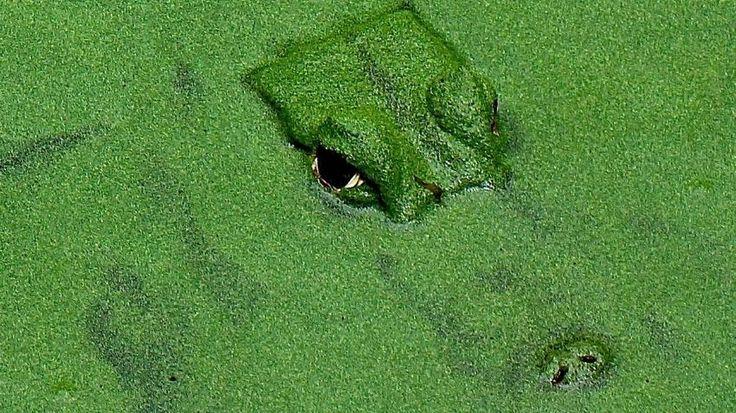 25 sch ne algen im teich ideen auf pinterest for Algen im fischteich