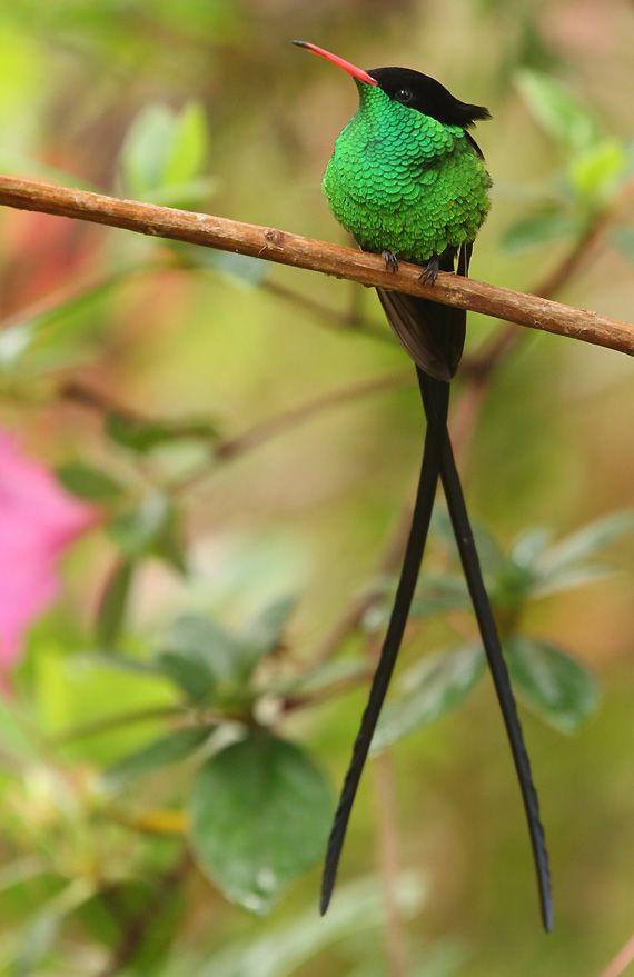 """El Colibrí Portacintas Piquirrojo (Trochilus polytmus) Las dos rectrices casi más externas del macho son de 15 a 18 cm de largo, mucho más largas que el cuerpo que las soporta. Colgando detrás del macho volador como si fueran dos """"chorritos"""", estas plumas hacen un sonido zumbante. Las hembras carecen de plumas rectrices alargadas, y son mayormente blancas por abajo. Debido a su pequeñez, estas aves son vulnerables a numerosos predadores."""