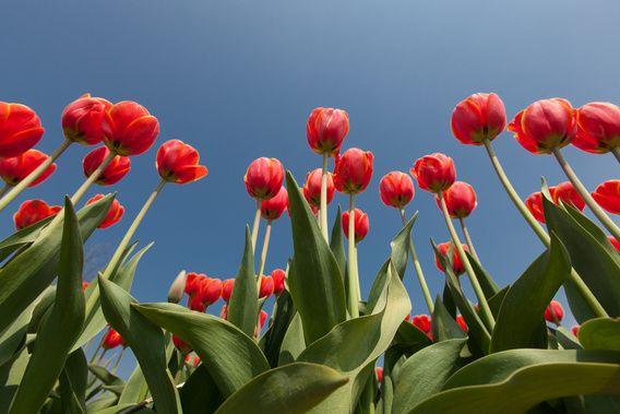 Rode tulpen tegen achtergrond van een helder blauwe lucht van Henk van den Brink