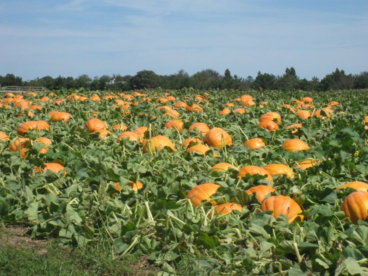 Apple Picking, Pumpkin Picking - Hank's Pumpkintown - Water Mill, Ny