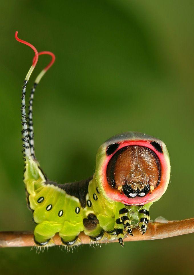 Puss moth, Cerura vinula (Nature's weird sense of humour)    by Igor Siwanowicz