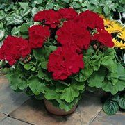 Good Geranium Care is vital for long-lasting summer color of this popular bedding plant.  Gardening tips on how to care for Geraniums.