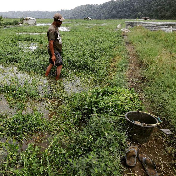 Tak ada lagi kebun sayur dan stroberi di tepi Danau Buyan ini. Hujan deras sebulan lalu telah membuat air danau meluap ke kebun-kebun petani hingga saat ini.  Luas kebun yang terendam dari 5 are hingga 3 hektar. Petani rugi antara Rp 10 juta hingga Rp 70 juta per orang akibat bencana alam ini.  #Bedugul #Bencana #Bali