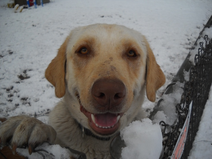 102 Best Dogs In Snow Images On Pinterest Snow Dogs