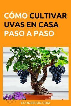 Aprende cómo cultivar UVAS en casa – Disfruta de su sabor fresco y libre de químicos