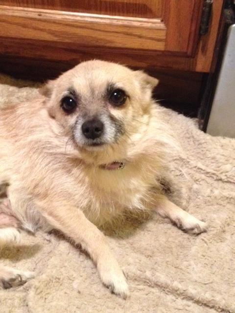 Adopt Alura On Pomeranian Chihuahua Mix Pomeranian Chihuahua Dogs