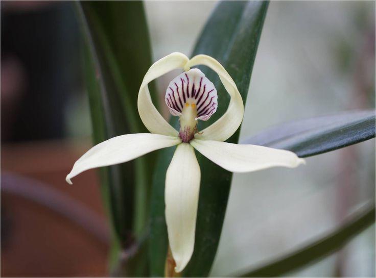 Orquidea Danzante...