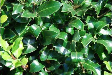 Houx 'Alaska'     L'Ilex aquifolium 'Alaska' (houx 'Alaska') est un houx de forme conique qui peut atteindre une hauteur de 5 à 6 m. Comme le houx commun, il a un feuillage épineux, peut être taillé et convient parfaitement comme plante de haie