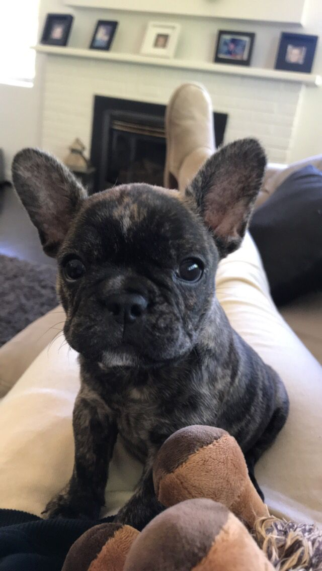 Frenchie Brindle French Bulldog Bulldog Puppies French Bulldog