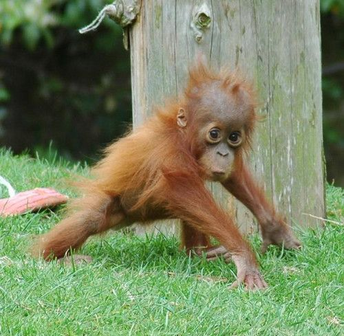 "I used to watch ""Orangutan Island"" when I was really young and I've been obsessed ever since. Baby orangutans are so precious!"