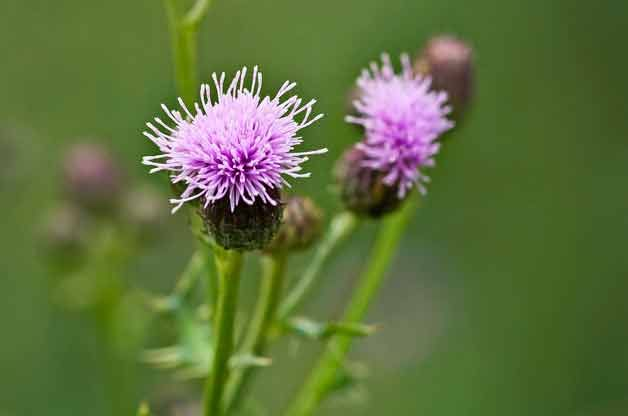 Gardening Basics: Identifying Weeds in Your Garden  Thistle Thistle is another tricky one. Birds and butterflies love it, but gardeners and farmers hate it. Many thistles are listed as noxious weeds; they can quickly infiltrate and take over the garden. To control the spread, try removing them before they flower and set seed.