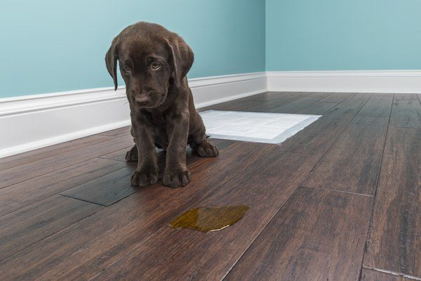 A Chocolate Labrador Puppy Sitting Next To Pee On Wood Floor 8 Weeks Old Dog Pee Smell Dog Urine Pee Smell