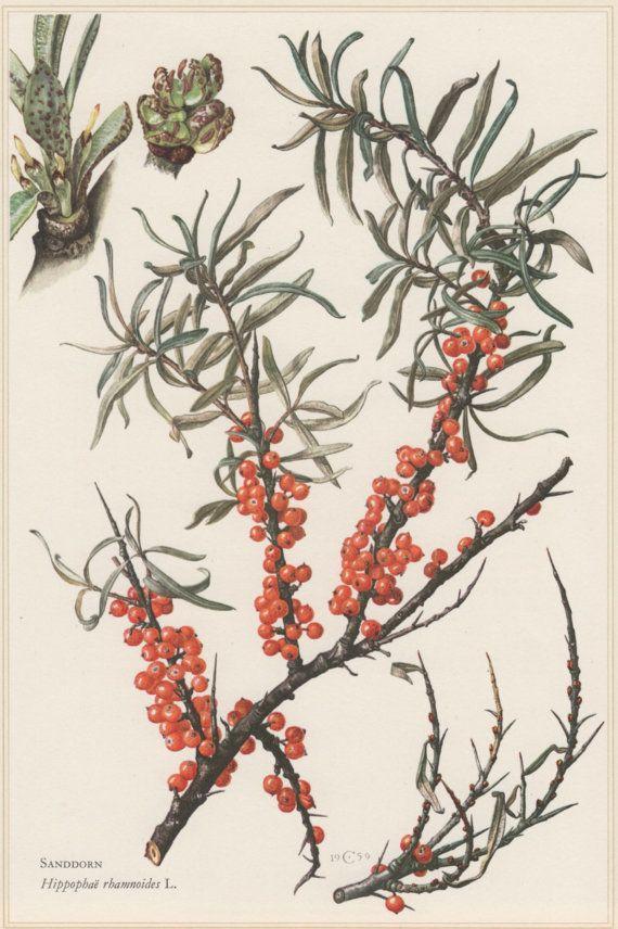 1960 Botanical Print Hippophae rhamnoides by Craftissimo on Etsy