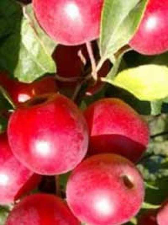Malus 'Gorgeous' , Zierapfel 'Gorgeous' günstig bestellen-Zierapfel-Malus - Laubgehölze - Laub- und Nadelgehölze - Baumschule New Garden- Baumschule NewGarden