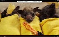 Watch These Baby Bats Get Wrapped Up In Blanket Burritos