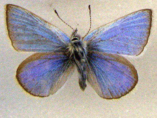 The Xerces Blue was a type of gossamer butterfly known for it's blue wings and white spots. It lived primarily in the deserts of San Francisco, and it remains as the first known example of butterfly extinction as a direct result of human development. The Xerces butterfly is believed to have held a symbiotic relationship with a native ant population, which was subsequent;y destroyed by an invading ant species, which itself had been accidentally introduced by humans.