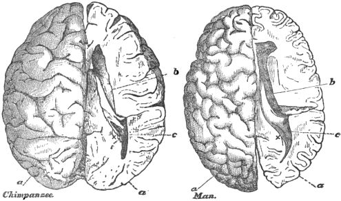 The chimpanzee's brain on the left and the human brain on the right have been scaled to the same size to show the relative proportions of their parts. These drawings were in a book made in 1904 by Thomas Henry Huxley.[22]