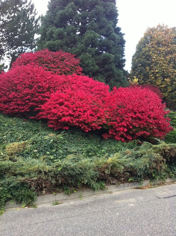 160 best flowering bushes trees images on pinterest exotic a cluster of fire bushautiful colors fall in washington state publicscrutiny Images