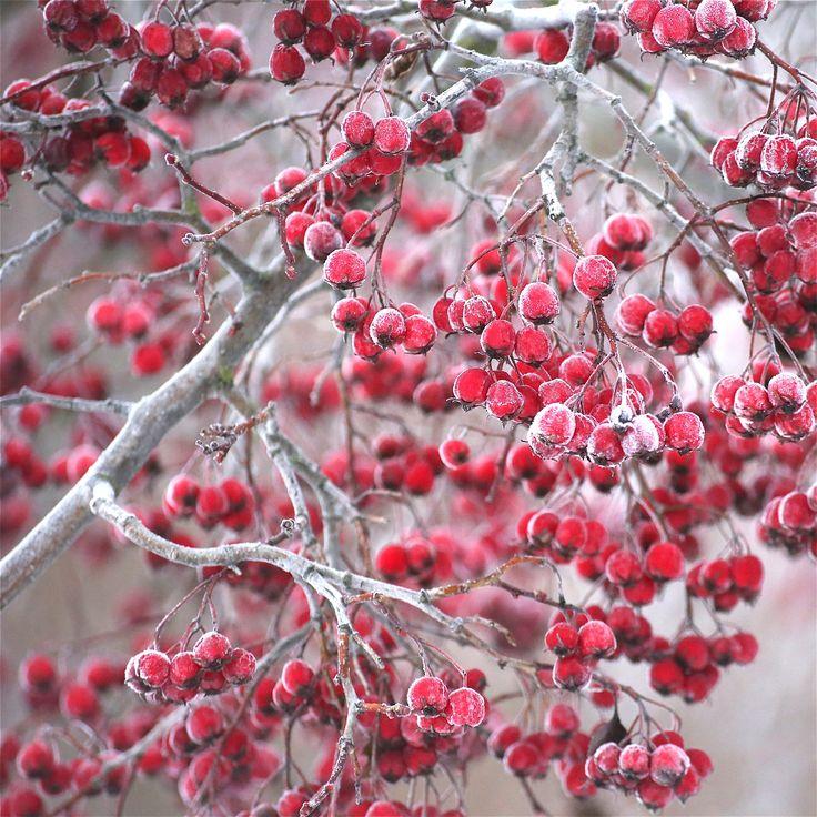Icy berries by Päivi Vikström on 500px