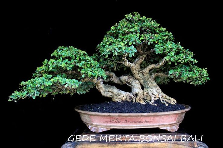 bonsai name: okiantea tree height: 45 cm panjang Pot: 54 cm High pot: 12 cm design by gede merta collection by gede merta