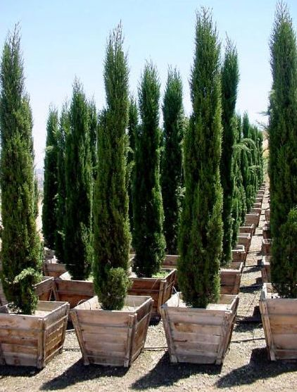 italian cypress potted.png