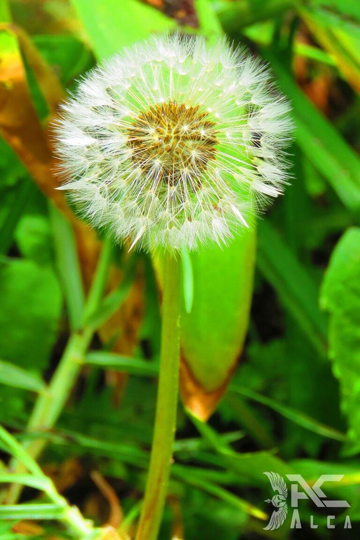 Diente de leon;flores;flowers;nature