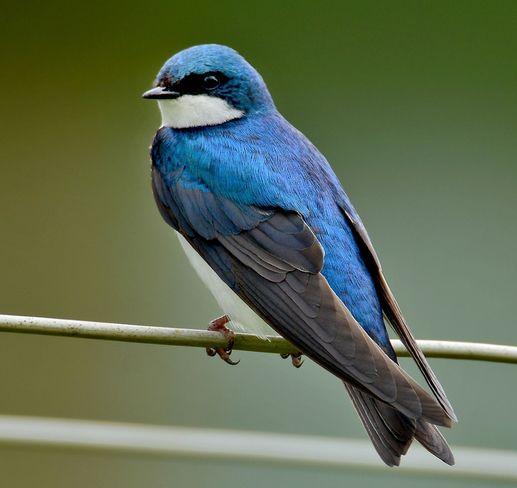 Tree Swallow Norfolk County, ON