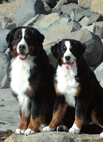 Last month we went to see Bernese Mountain Dogs, the ones bred by monks living in the San Bernandino mountain pass in Switzerland, the original purebred ones, are larger than life itself, actually huge.
