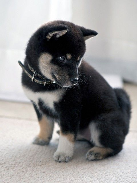 A black, tan and white Shiba Inu puppy. Gimme gimme!!!