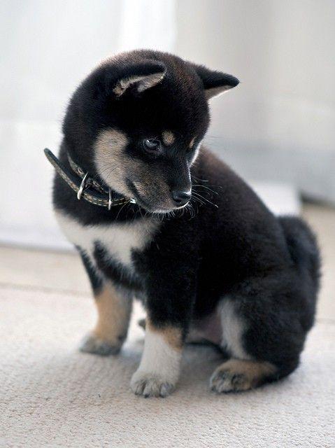A black, tan and white Shiba Inu puppy. Gimme gimme!!!